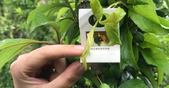 四川农科院专家赴叙永开展果树栽培技术指导助力产业发展